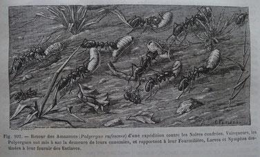 in Merveilles de la nature  - Les insectes - A.E. BREHM