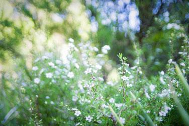 マヌカの花の写真です。マヌカハニーはニュージーランドやオーストラリアにしか生育しないマヌカの木の花の蜜からつくられたはちみつです。