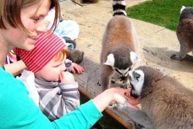 Freilaufende Affen füttern im Zoo in Ebbs