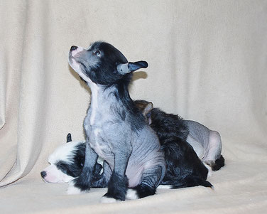 продажа щенков китайской хохлатой
