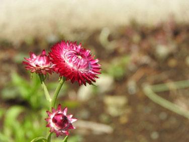 麦藁菊の蕾(むぎわらぎく) 散策路 170527撮影 291