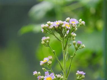 紫苑 散策路 160926撮影 23