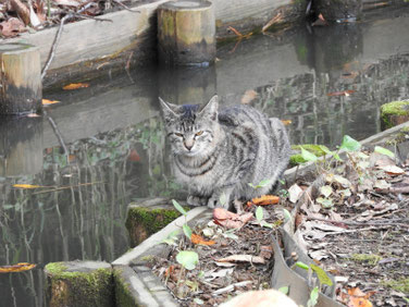 猫猫(ねこ) 三溪園 171202撮影 127