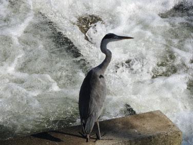 青鷺(あおさぎ) 散策路河川 190908撮影 381