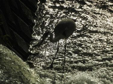 青鷺(あおさぎ) 散策路河川 180729撮影 209