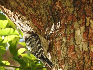 コゲラ(小啄木鳥) 庭 170211撮影 66