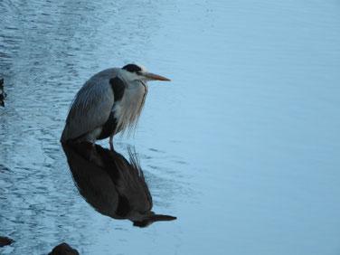 青鷺(あおさぎ) 散策路河川 210131撮影 592