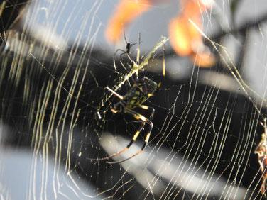 蜘蛛の巣 散策路 161112撮影 27