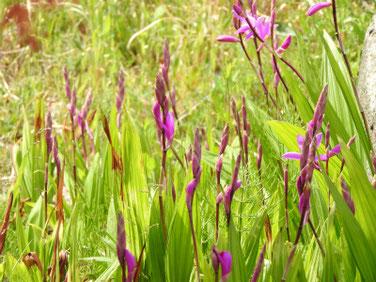 紫蘭(しらん) 散策路公園 190414撮影 737