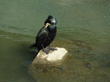 川鵜(かわう) 散策路河川 200311撮影 480