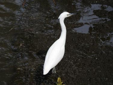 小鷺(こさぎ) 散策路河川 200712撮影 521