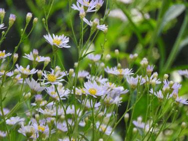 紫苑(しおん) 東慶寺 170919撮影 121