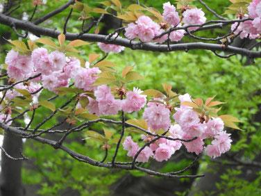 八重桜 散策路 170421撮影 205