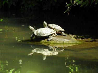 アカミミガメ 散策路親水公園池 180609撮影 191