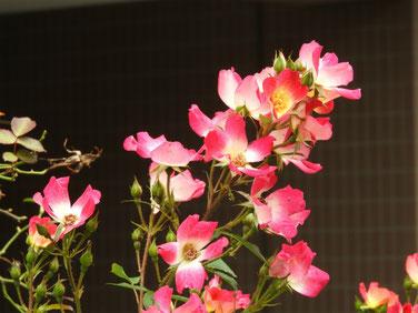 つる薔薇(ばら)コクテール 散策路 160625撮影 68