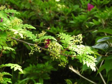 山椒の花(さんしょう) 散策路 190421撮影 801
