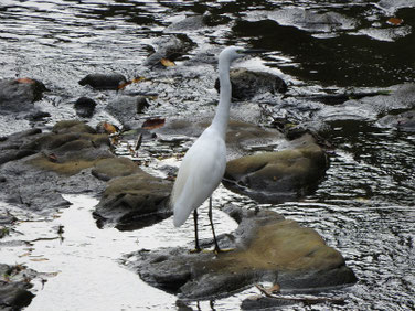 小鷺(こさぎ) 散策路河川 210908撮影 644