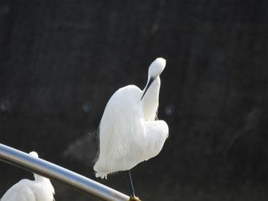小鷺(こさぎ) 散策路河川 181112撮影 243