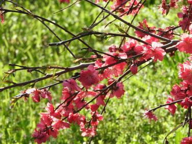 桃の花(もものはな) 散策路 210324撮影 1265