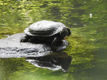 アカミミガメ 親水公園の池 200511撮影 503