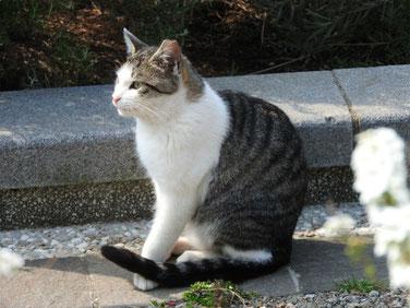 横浜山手ブラフ99ガーデンの猫 170408撮影 79