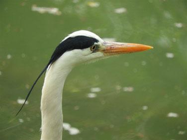 青鷺(あおさぎ) 親水公園 180412撮影 172