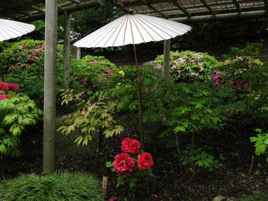 牡丹 鎌倉神苑ぼたん庭園 160429撮影 56