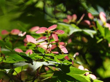 楓の翼果(カエデのよくか)親水緑道210418撮影 1334