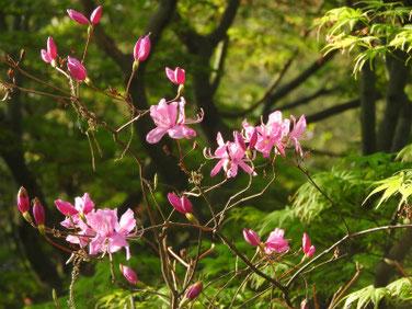 三つ葉つつじ 親水公園 200403撮影 1039