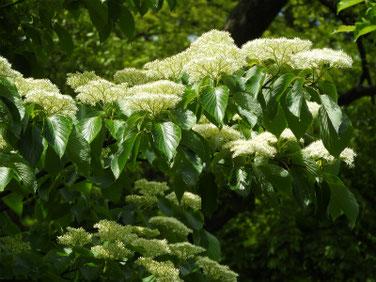 水木の花(みずき)散策路公園 190428撮影 823