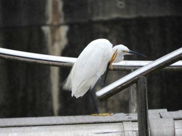 小鷺(こさぎ) 散策路河川 200823撮影 538