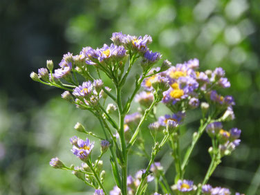 紫苑(しおん) 散策路 180928撮影 241