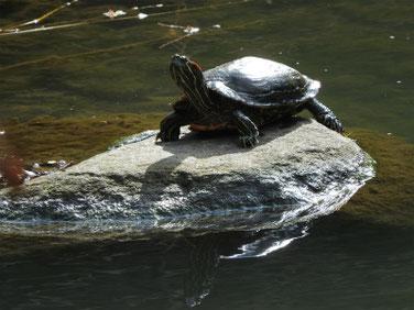 アカミミガメ 親水公園池 200311撮影 473