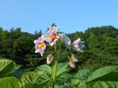 茄子の花(なす) マクロ 190517撮影 890