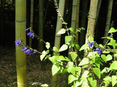 青紫ハーブセージ 散策路 190805撮影 679