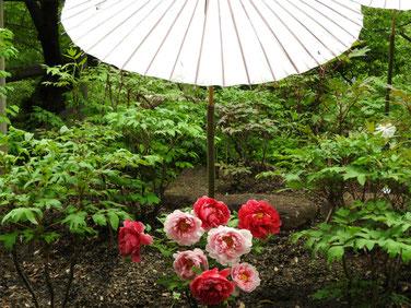 牡丹 鎌倉神苑ぼたん庭園 160429撮影 53
