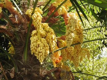 棕櫚の花(しゅろ)散策路 190428撮影 834