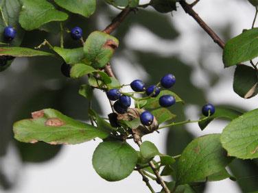 沢蓋木の青い実(サワフタギ)親水緑道210908撮影 505