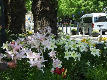 百合の花(ゆり) 日本大通り 180602撮影 336