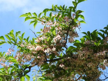 紅花エゴノキ(萵苣の木)散策路公園200517撮影 1145