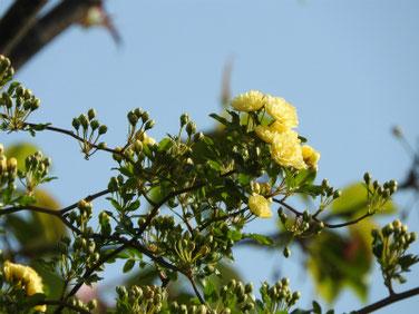 木香薔薇(もっこうばら)黄色散策路210403撮影  1295