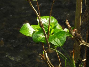 紫陽花の芽吹き(あじさい)親水緑道210306撮影 1194