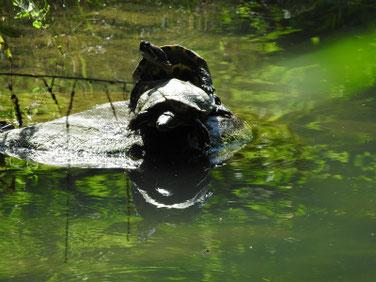 アカミミガメ 散策路親水公園池 180609撮影 192