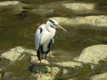 青鷺(あおさぎ) 散策路河川 210608撮影 632