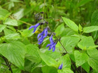 青紫ハーブセージ 散策路 200602撮影 733