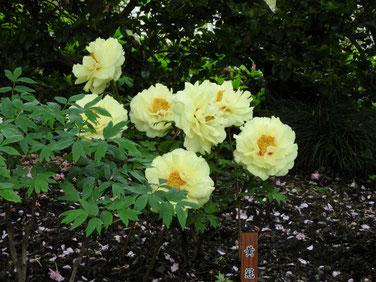 牡丹 鎌倉神苑ぼたん庭園 160429撮影 52