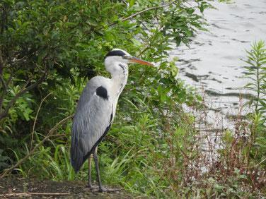 青鷺(あおさぎ) 散策路河川 200719撮影 530