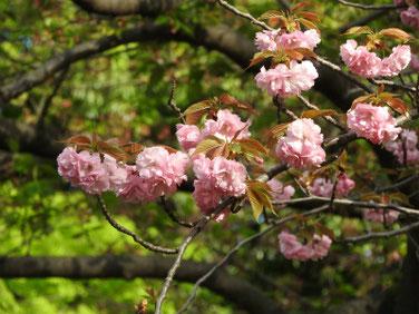 八重桜(やえざくら) 散策路 180407撮影 432