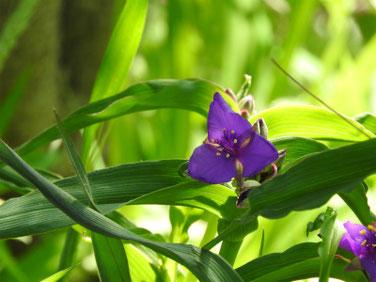 大紫露草(おおむらさきつゆくさ)散策路210411撮影1316