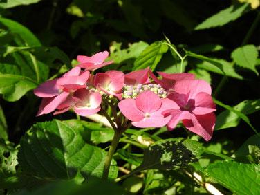 紫陽花(アジサイ) 散策路 210608撮影 894
